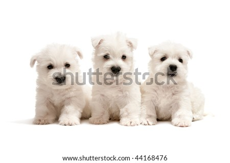 Three west highland white terrier puppies are sitting together; isolated on white background - stock photo