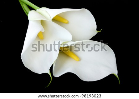 three white Calla lilies isolated on a black background - stock photo