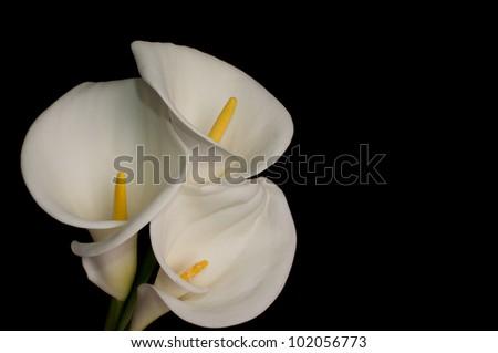 Three white calla lillies isolated on black background - stock photo