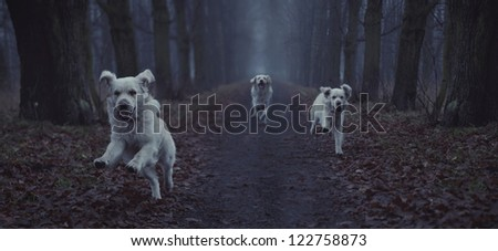 Three white dogs running - stock photo