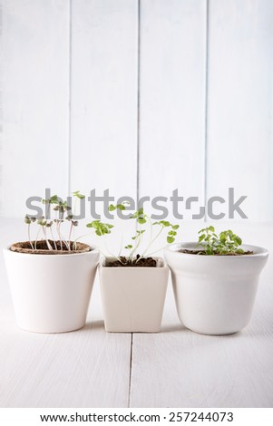 Three white flowerpots with small green sprouts of basil and mint. - stock photo