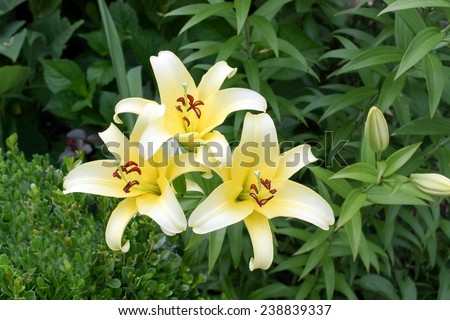 Three White Lilies in a garden; White lily blossom;  Yellow  Lillies  flowers - stock photo