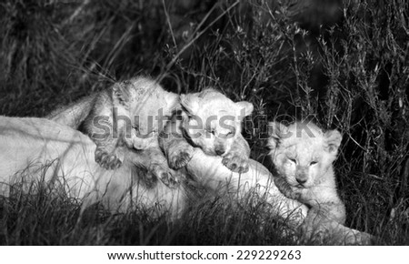 Three white lion cubs suckling in this black and white tone image. - stock photo