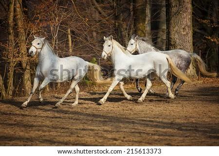 Three white Lipizzan horse runs gallop on the dark background - stock photo
