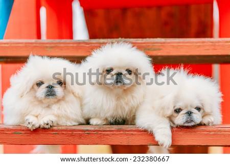 Three White Puppies Pekingese Pekinese Peke Whelps Puppy Dog Sitting On Wooden Bench In Autumn Park - stock photo