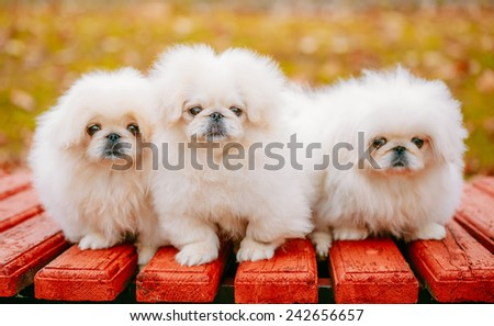 Three White Puppies Pekingese Pekinese Peke Whelps Puppy Dog Sitting On Wooden Bench In Autumn Park - stock photo