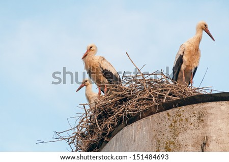Three White Storks (Ciconia ciconia) stand in nest on water tower top against blue sky background. Ugra National Park, Kaluzhsky region, Russia.  - stock photo