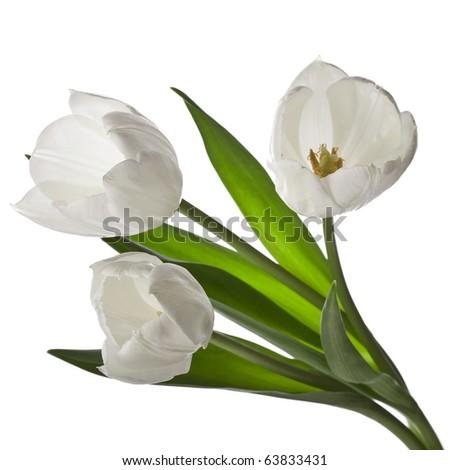 Three white tulips isolated on white - stock photo