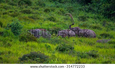 Three Wild elephants walking on blady grass and pulling in the air in real nature at Khao Yai  national park,Thailand - stock photo