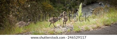 Three wild emu chicks near Snowy mountains highway banner - stock photo