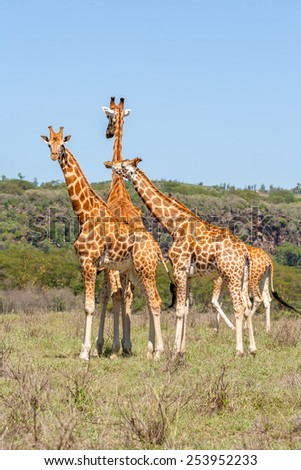 three wild giraffes herd in savannah, Kenya, Africa - stock photo