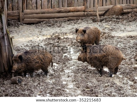 three wild pigs in aviary of the zoo - stock photo