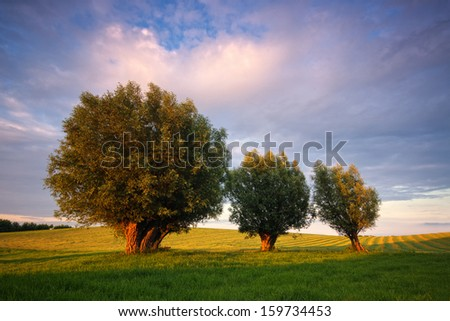 three  willow tree in an open field with blue sky and clouds - stock photo