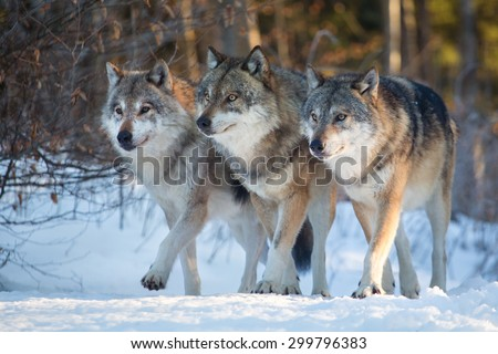 Three wolves marching together - stock photo