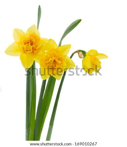 three yellow daffodils isolated on white background - stock photo
