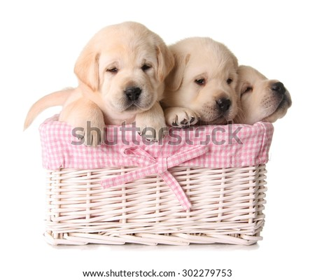Three yellow lab puppies in a pink basket.  - stock photo