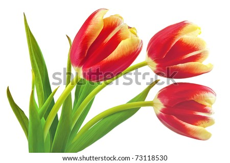 Three yellow-red tulip with green leaves isolated on white background - stock photo