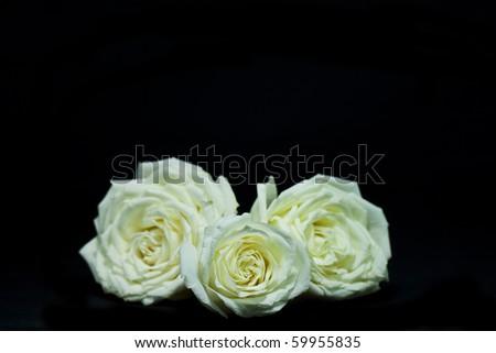 Three yellow rose on black background - stock photo