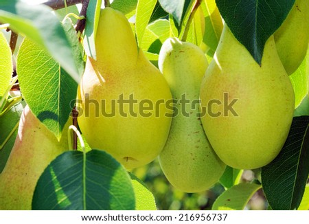 Three yellow side pears on the tree - stock photo