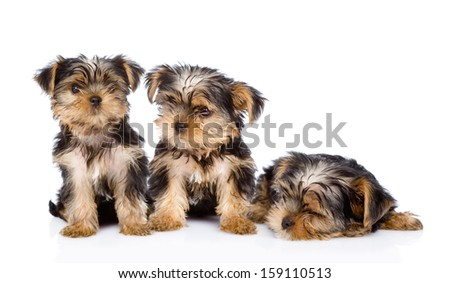 three Yorkshire Terrier puppies. isolated on white background - stock photo