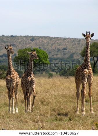 Three young Giraffes in the Masai Mara, Kenya - stock photo