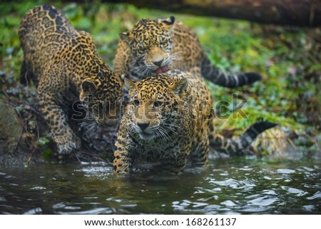 Three young Jaguars playing, grooming each other near the water - stock photo