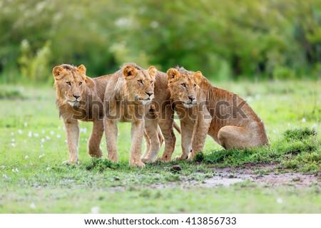 Three young Lions of Maji Ya Fisi Pride in Masai Mara, Kenya - stock photo