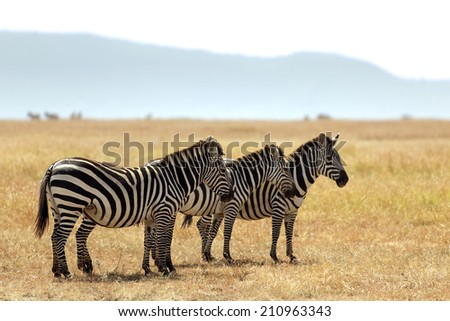 Three zebras on the Masai Mara National Reserve safari in southwestern Kenya. - stock photo
