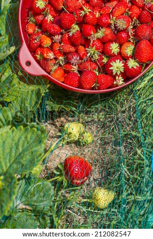 Through blur lush foliage in the vegetable garden we can see a group of organic strawberry plants. A full colander of strawberries freshly harvesting. Grass and birds-netting. June in France. - stock photo