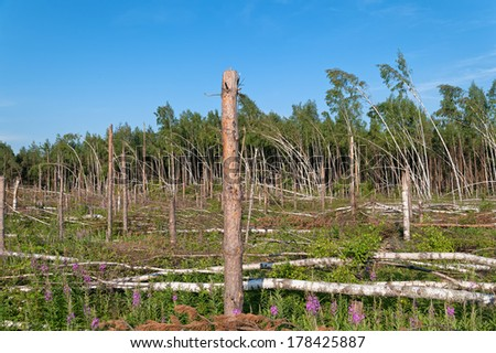 Throw birch forest with broken pine trunks before after tornado.   - stock photo
