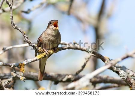 Thrush Nightingale (Luscinia luscinia). The bird perching on a branch of the tree. A singing bird. Singing male. - stock photo