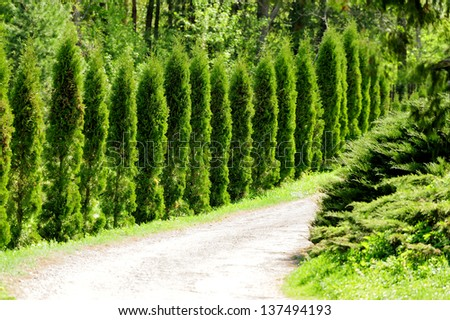 Thuja alley and road in summer - stock photo
