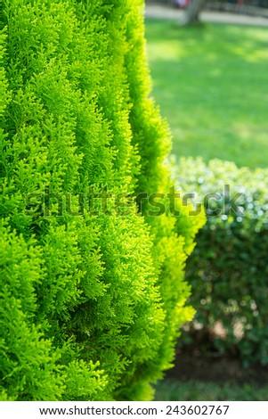 thuja green plant close up - stock photo