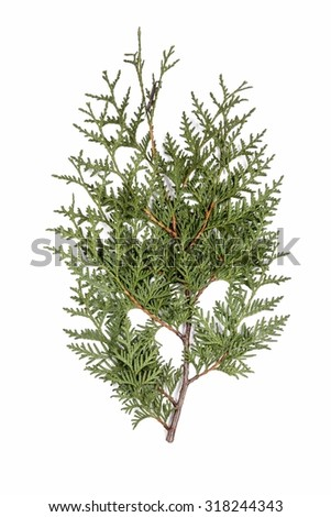 Thuja occidentalis (white cedar) branch isolated on white background - stock photo
