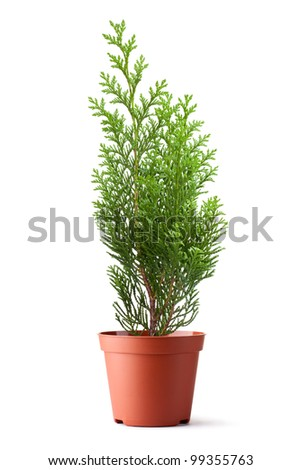 Thuja sapling in a pot. Isolated on a white. - stock photo