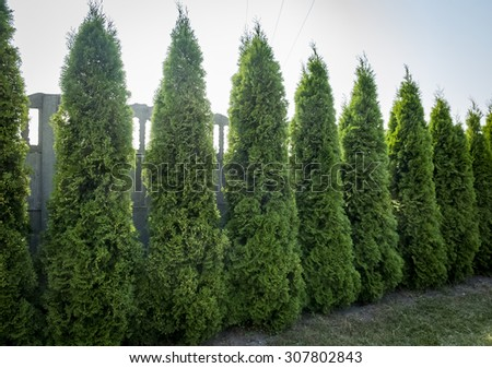 Thuja trees at wall in garden - stock photo