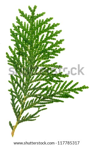 Thuja twig isolated on white, closeup view - stock photo