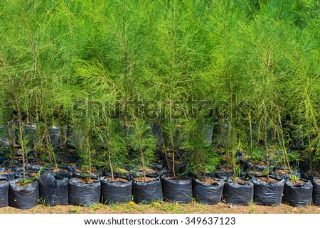 thuja young plants in black sacks for sale - stock photo