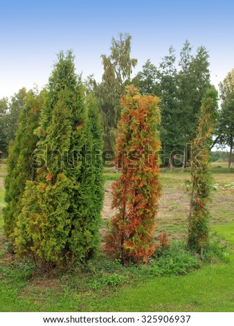 Thujas or cypress damaged from water deficiency with withered leaves. - stock photo