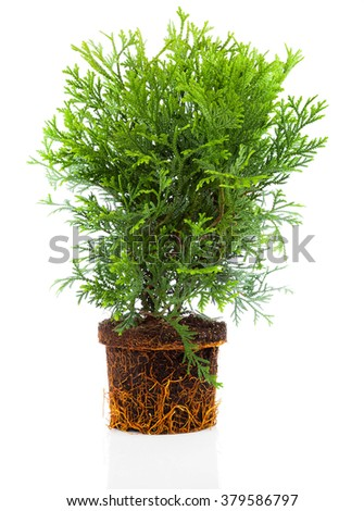 Thujopsis is a conifer in the cypress family Cupressaceae, with roots isolated on white background - stock photo
