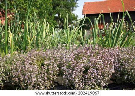 Thyme and garlic in eco-friendly backyard formal garden, vegetable garden. - stock photo
