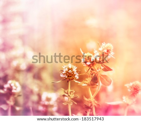 Thyme flower in meadow - stock photo