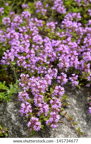 Thyme flowers - Thymus sp. - stock photo