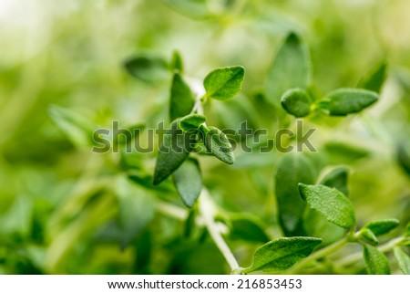 Thyme , Selective focus  - stock photo
