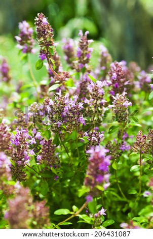 Thymus - healing herb and condiment growing in nature - stock photo