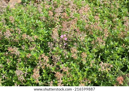 Thymus pulegioides (common names broad-leaved thyme, lemon thyme) - stock photo