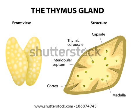 Thymus structure. diagram. Gland lies in the thoracic cavity, just above the heart. It secretes thymosin. - stock photo
