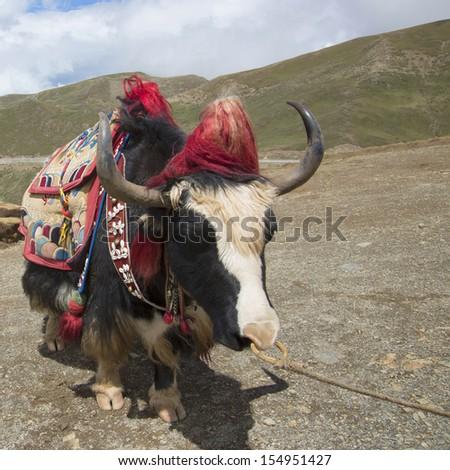 Tibet's lakes and yak (in Yangzhuoyongcuo) - stock photo