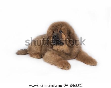 Tibetan Mastiff on a white background - stock photo