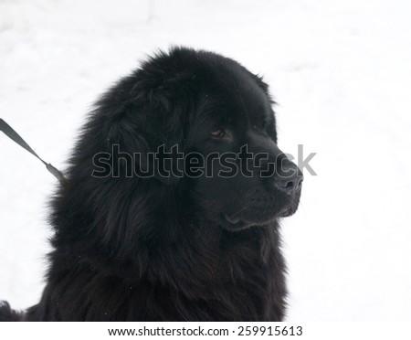 Tibetan Mastiff standing on white snow - stock photo